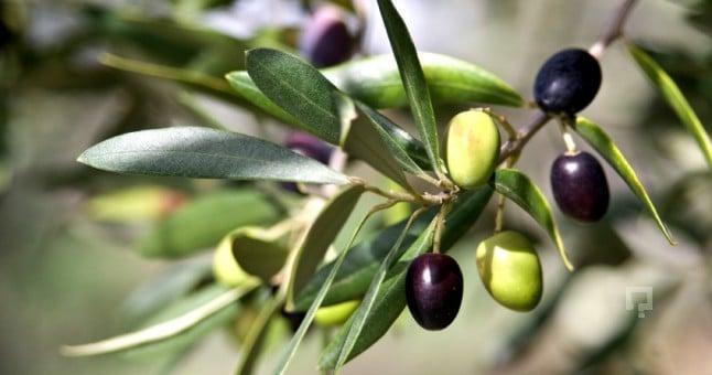 zeytinyağı